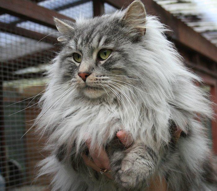 Питомник кошек  Главная